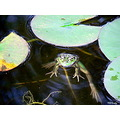 frog animal water pond nature
