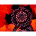 papaver flower plant nature