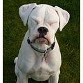 Boxer White Pet Dog Milky