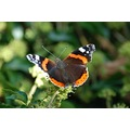 Peak District Derbyshire Red Admiral Butterfly
