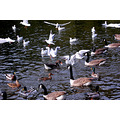 gulls and ducks