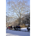 centralpark park newyorkcity ny horse snow carriage trees people