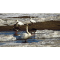 trumpeter swan with greater white fronted geese and snow geese
