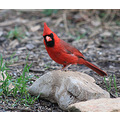 Cardinal carlsbirdclub backyard bird feeder