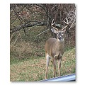 deer buck nature whitetail