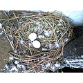 bird egg nest pigeon