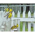 Fencerow Finches, May 26, 2008