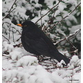 Blackbird Snow