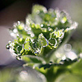 macro water droplets alchemilla mollis close up