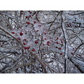 ice tree bush winter cold snow march clear frost ithaca berry berries red