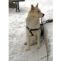 winter snow sleddog dog winnipeg canada