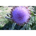 flower thistle purple