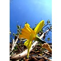 flower France spring march sun sky daffodils