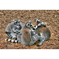 Lemur animal wildlife park
