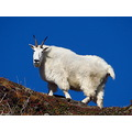Rocky Mountain Goat...up on a high ridge