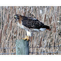 RedTailed Hawk Bird Wildlife