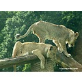 lion captive animals wildlife
