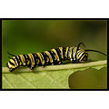 monarch caterpillar insect bug