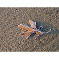 Frosty beach leaf