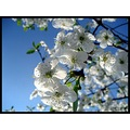 flowers blue sky mirabel branch white poland apple