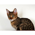 Jake, one of the two Savannah cat kittens who just came into my life
