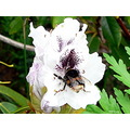 bee bumblebee flower nature closeup