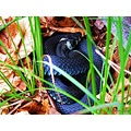 black Snake Grass Skaralid Skane Sweden June 2014
