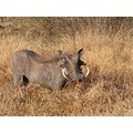 Warthog Africa Animals rangerriaan