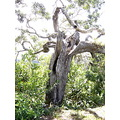 koa tree native Hawaiian plant koatree forest Hawaii