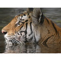 Tiger headshot in water Bandhavgarh