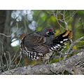 bird grouse wildlife