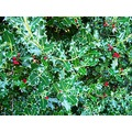 Holly Hedge Colours