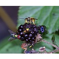 Canon D60 tamron wasp fly blackberries