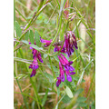 oakland park nature wildflower purple spring may purple serpentinefph