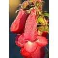 A penstemon in my garden with some frosting.  Try full size to see the frosting