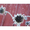 sunflower frost winter hot wild sex nude plants