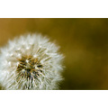 nature flower closeup macro dandelion delicate white brown