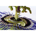 Passion flower colour water droplet nature macro