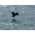 A Pelagic Cormorant was flying from one rock to another when the wind blew him down, almost into ...