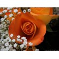 flower flowers bud rose nature stlouis mo missouri springbook