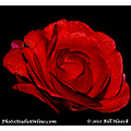 stlouis missouri usa flower bud fake rose 062011