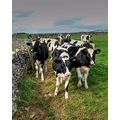 Prak District Derbyshire Cows