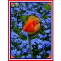 young orange poppy red white blue frame
