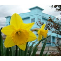 Spring has sprung.  I liked the blue house as a background contrast to these daffs.