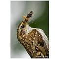 wildlife natural history bird treecreeper spideyj