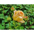 Alchemist Yellow Pink Orange Rose Skane Sweden My Garden 2012 June