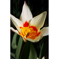 nature flower tulip white orange red closeup