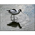 reflectionthursday birds avocet