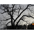 week 8 sharp shadows sunset tree of life arching branches