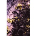 Mediterraneans flowers Coast Alofite Anthyllis barba jovis Detail